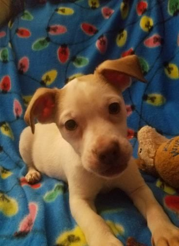 Joey Is An Adoptable Dog Chihuahua Jack Russell Terrier Mix