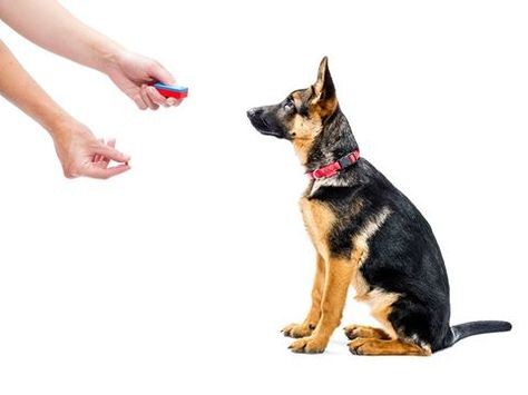 Pin By Katie H On German Shepherd Dog Clicker Training German