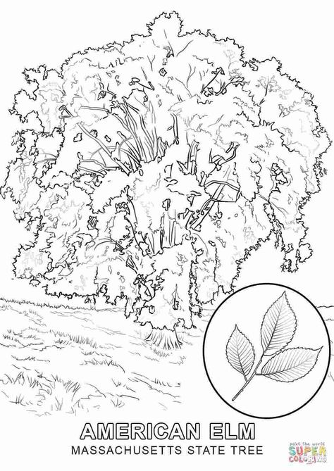 Massachusetts State Bird And Flower Coloring Pages Massachusetts