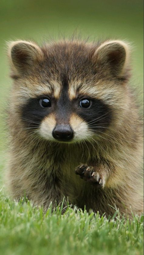 Cute Raccoon - Cutest Baby Animals Best Picture For black baby For Your Taste You are looking for something, and - Baby Raccoon, Cute Raccoon, Raccoon Animal, Raccoon Art, Baby Animals Pictures, Cute Animal Photos, Cute Pics, Wild Animals Photos, Cute Little Animals