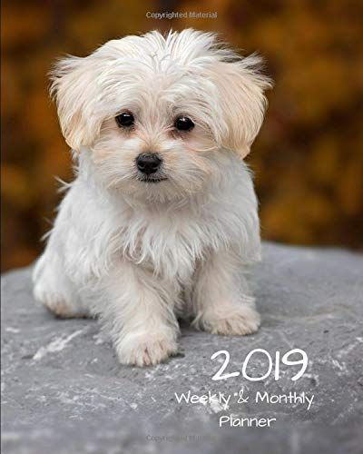 2019 Weekly And Monthly Planner Maltese White Puppy Daily