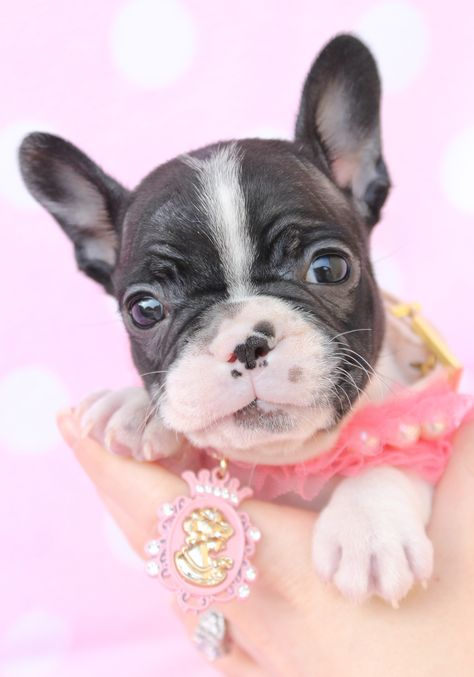 Lilac French Bulldog Puppy By Teacup Puppies And Boutique