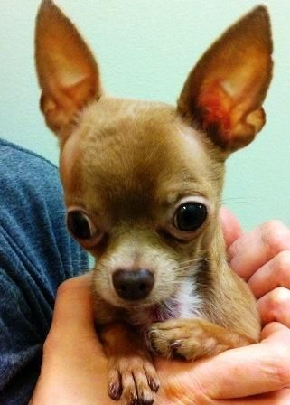 Meet Stewart Little A Petfinder Adoptable Chihuahua Dog Oswego