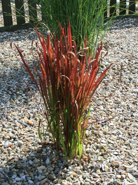 Japanisches Blutgras Imperata cylindrica /' Red Baron /'