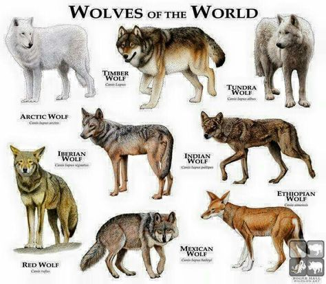 Wolves Of The World                                                                                                                                                      Mais