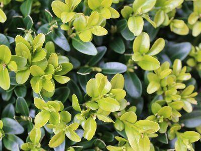 Zolte Liscie Bukszpanu Dlaczego Bukszpan Zolknie I Jak Go Uratowac Hedges Green Leaves