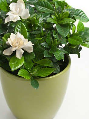 7 Houseplants With Secret Health Benefits With Images Gardenia Plant Growing Gardenias Plants