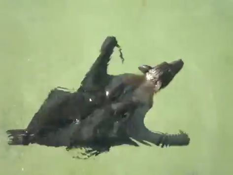 Never knew bats were such capable swimmers 🔥