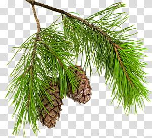 Pine Conifer Cone Larch Spruce Branch Pine Boughs Transparent Background Png Clipart Transparent Background Christmas Ornament Frame Conifer Cone