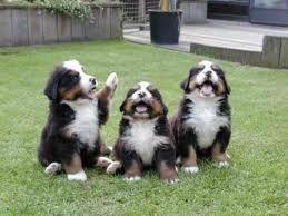 Bernese puppies. It looks like they're enjoying a joke.