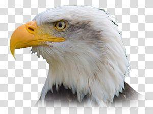 Bald Eagle Bird Philippine Eagle Golden Eagle Eagle Transparent Background Png Clipart Bald Eagle Philippine Eagle Eagle Bird
