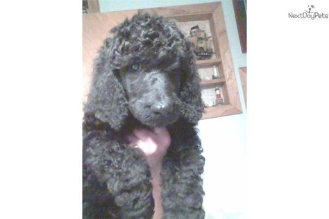 Poodle Standard For Sale For 350 Near Janesville Wisconsin