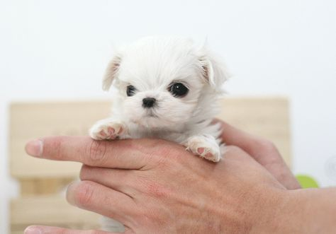 This is my future dog. Mini Maltese lovin