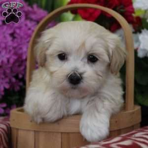 Maltipoo Puppies For Sale Maltipoo Breed Profile Puppies Maltipoo Puppies For Sale Greenfield Puppies