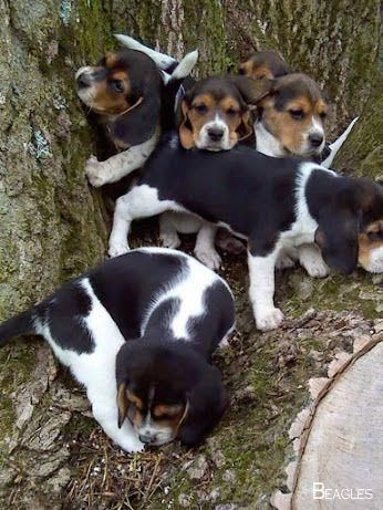 Beagles Forever Beaglegang Beagles Full Grown Beagle Puppy