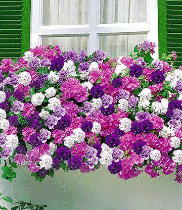 Die 16 Besten Bilder Von Balkonblumen Garden Art Horticulture Und