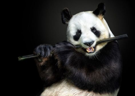 A panda bear pretends to play the flute. (Photo: Pedro Jarque Krebs/Caters News)