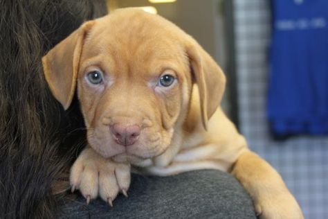 Simba Local Pup Adoptable Dog Puppy Male Labrador Retriever Hound Mix Puppies Dog Adoption Dogs