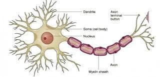 نتيجة بحث الصور عن رسم الخلية العصبية Neuron Model Neuron Diagram Nervous System