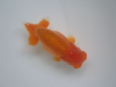 This fish got a gold medal at the major  tournament.