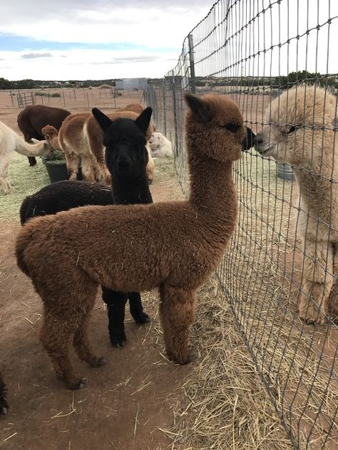 Jasper: Huacaya, Male, Unproven: New Mexico, Santa Fe Baby Farm Animals, Baby Animals Pictures, Animals And Pets, Super Cute Animals, Cute Little Animals, Cute Funny Animals, Cute Alpaca, Baby Alpaca, Lama Animal