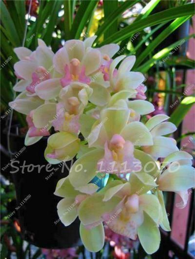 100 Pcs Cymbidium Seed Rainbow Chinese Cymbidium Orchid Flower Seeds Potted Plant Indoor Bonsai Orchid Flower Flower Seeds Orchid Seeds
