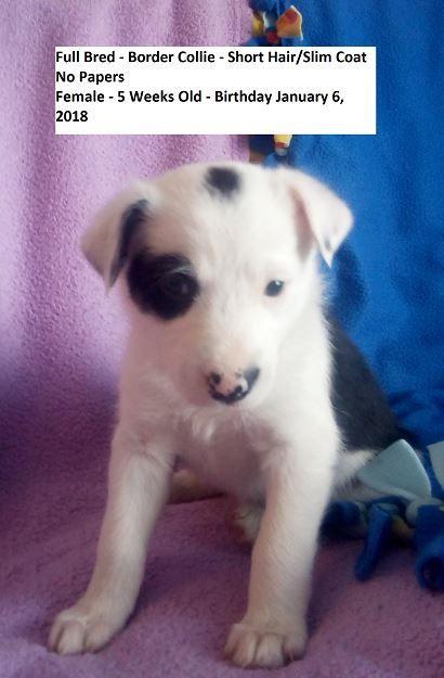 Litter Of 5 Border Collie Puppies For Sale In Vernal Ut Adn