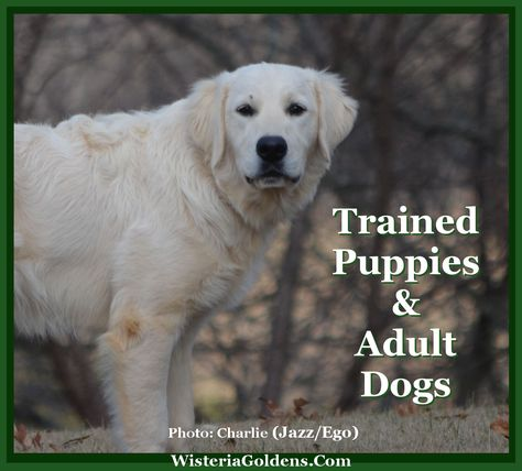 English Cream Golden Retriever Puppies For Sale Animales