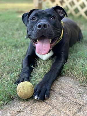 Dallas Ga American Staffordshire Terrier Meet Camo A Pet For Adoption Staffordshire Terrier Pitbull Terrier Pitbulls