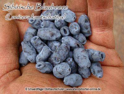 Heckenkirsche Lonicera kamtschatica kamtschatica Sibirische Blaubeere