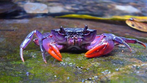 Bright Purple Crab Discovered in Philippines
