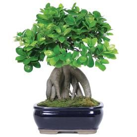 Brussel S Bonsai 8 In Gensing Grafted Ficus In Clay Planter Ct7013gmf Lowes Com Bonsai Trees For Sale Bonsai Tree Ficus Bonsai Tree