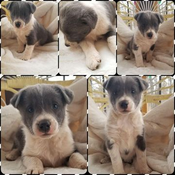 Litter Of 6 Mutt Puppies For Sale In Reeds Mo Adn 65321 On