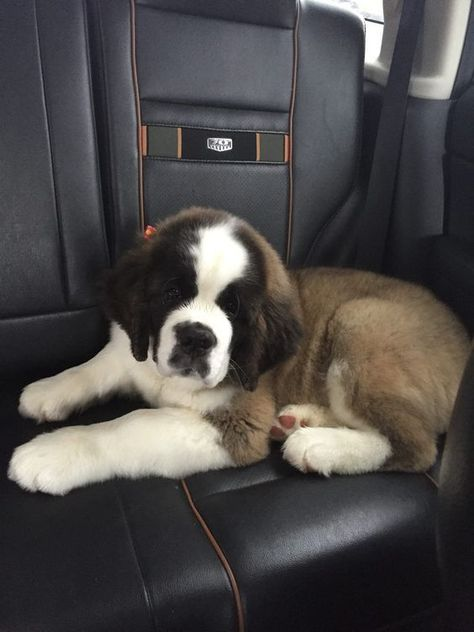 That little baby st Bernard Chien Saint Bernard, St Bernard Puppy, Cute Puppies, Cute Dogs, Dogs And Puppies, Doggies, Big Dogs, I Love Dogs, Cute Baby Animals
