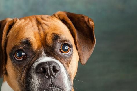 Photographic Print Portrait Of A Boxer Dog 24x16in In 2020 Boxer Dogs Dog Boarding Near Me Dog Training Near Me