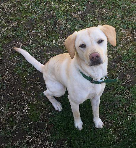 Adopt Dawn 3 On Petfinder Dogs Adoption Yellow Labrador Retriever