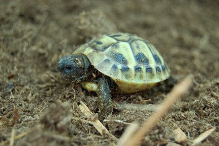 Baby Hermanns Tortoises For Sale