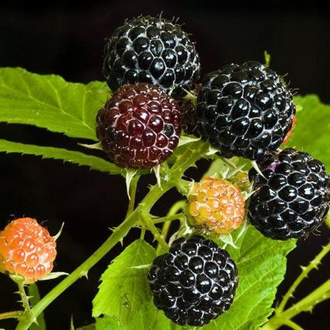 Raspberry Black Bush Seeds (Rubus occidentalis) - Under The Sun Seeds - 1