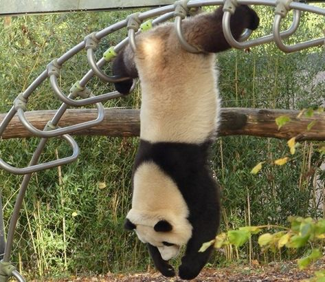 A kung fu panda with acrobatic talent? It sounds like something that only appears in animation films, but panda Tian Bao proves the opposite in Pairi Daiza. The post Panda Tian Bao shows acrobatic trick in Pairi Daiza appeared first on Afrinik.