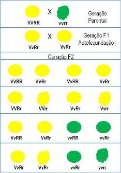 Leis De Mendel Resumo E Contribuicao Para A Genetica Leis De