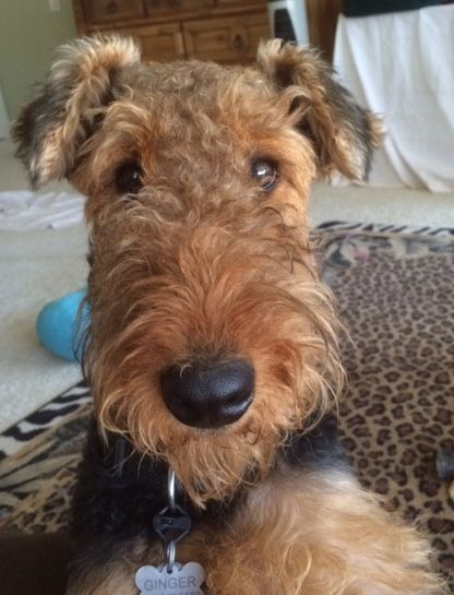 Ginger An Excellent Name For An Airedale Airedale Excellent Ginger Airedale Dogs Airedale Terrier Airedale Terrier Puppies