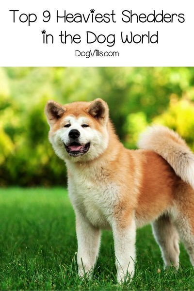 9 Dog Breeds That Shed The Most Dogvills In 2020 Dog Breeds Every Dog Breed Hybrid Dogs
