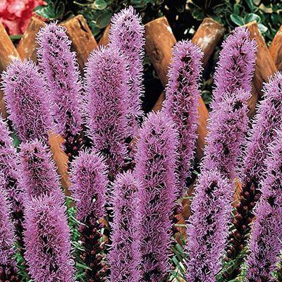 Liatris Spicata Blazing Star K Van Bourgondien Liatris Bulb Flowers Perennials