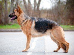 55 German Shepherd Golden Retriever Mix For Sale Uk In 2020 Shepherd Dog Breeds Dog Breeds Cute German Shepherd Puppies