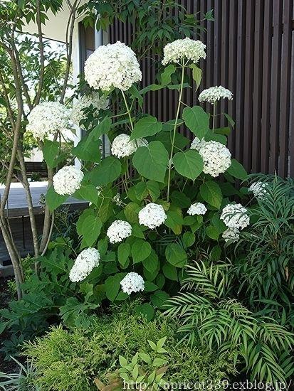 庭に咲いたアジサイ アナベルの花 シンプルで心地いい暮らし アジサイ 庭 造園計画