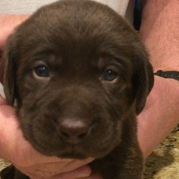 Litter Of 8 Labrador Retriever Puppies For Sale In Chico Ca Adn