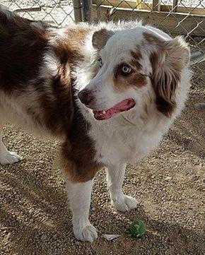 North Las Vegas Nv Australian Shepherd Meet Ty A Dog For Adoption Australian Shepherd Dachshund Adoption Australian Shepherd Puppies