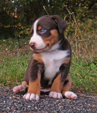Appenzeller Sennenhund Sennenhund Hunde Appenzeller Sennenhund Welpen