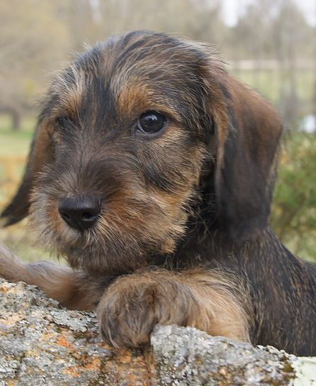 Willow Springs Enzo Wire Haired Dachshund