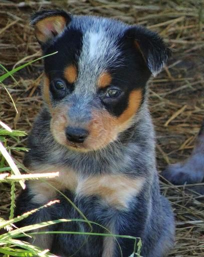 Mini Blue Heeler Info Goldenacresdogs